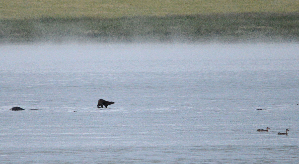 Otter on a rock in the middle of the Loch of Harray as evening mist rises.