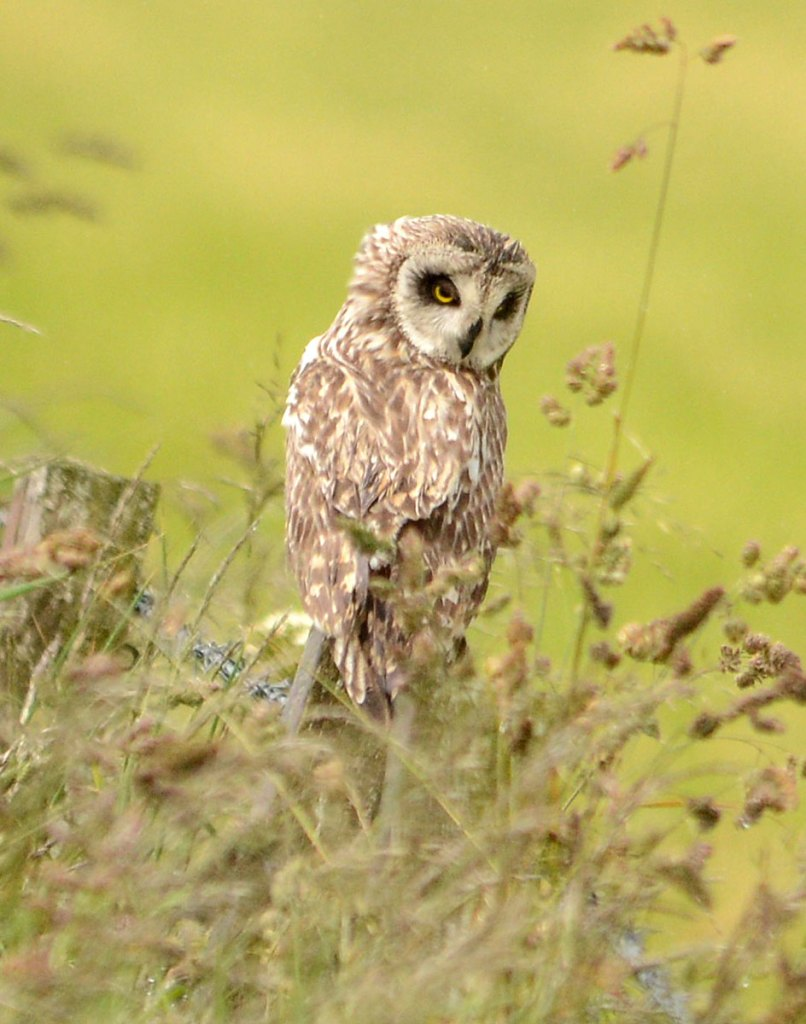 Short-eared owl poses for a photograph...