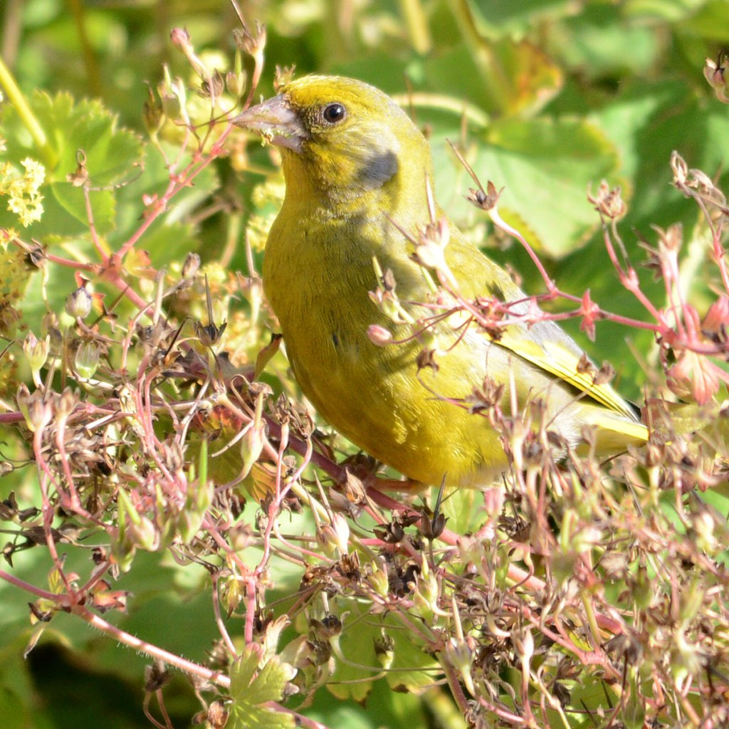 Well-camouflaged greenfinch.