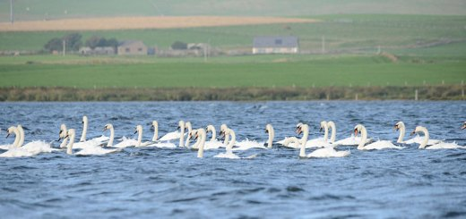 Swans on the loch (Nick Card)