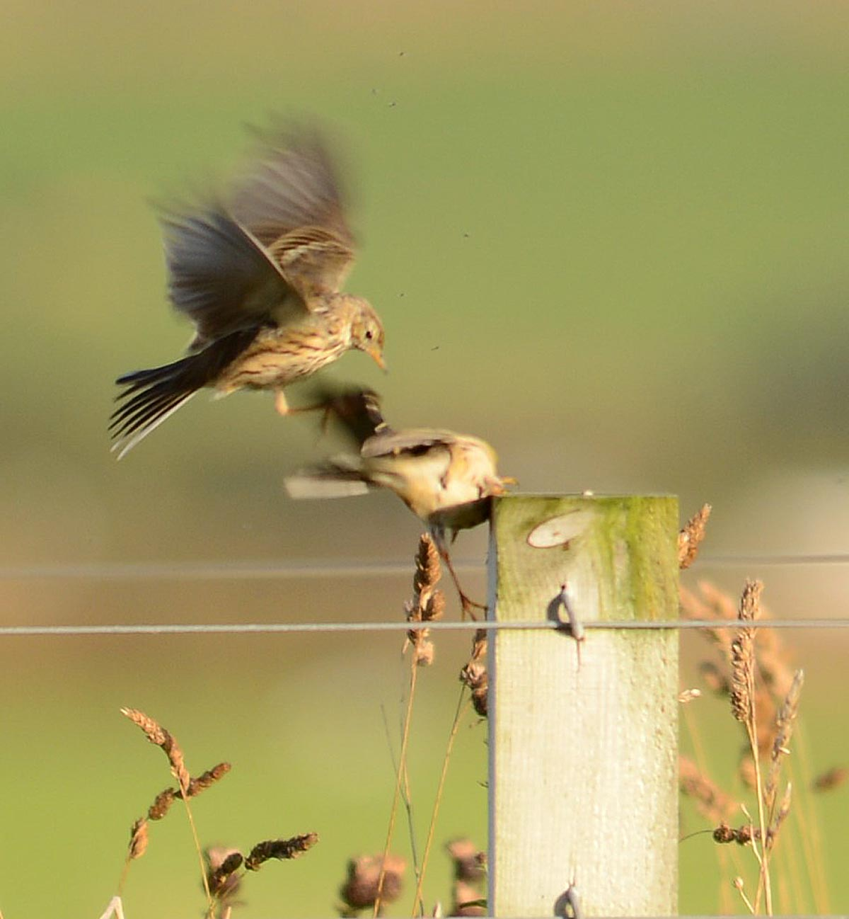 Squabbling meadow pipits.