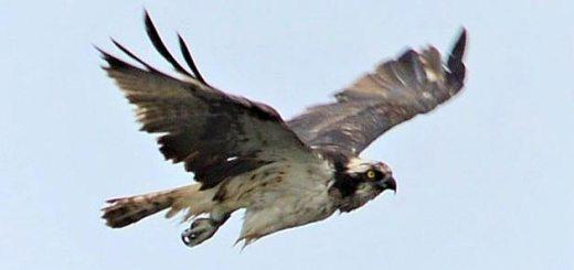 Osprey over Harray loch. (Nick Card)