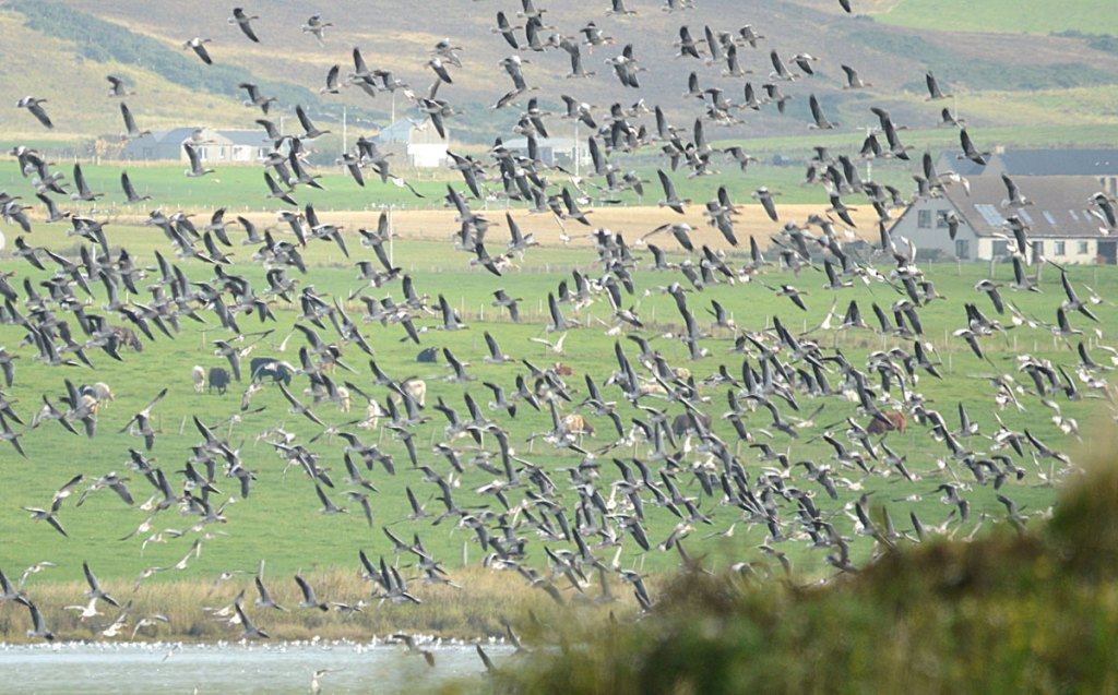 Dawn. A mass takeoff of geese from the Loch of Harray.