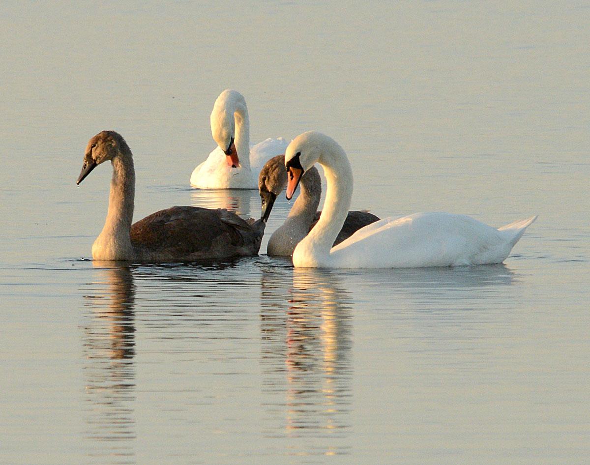 Swan family.