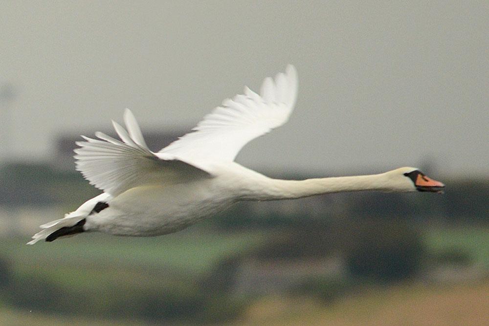 Swan in flight.