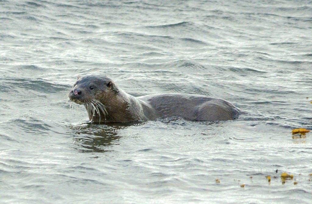 Stenness loch otter.