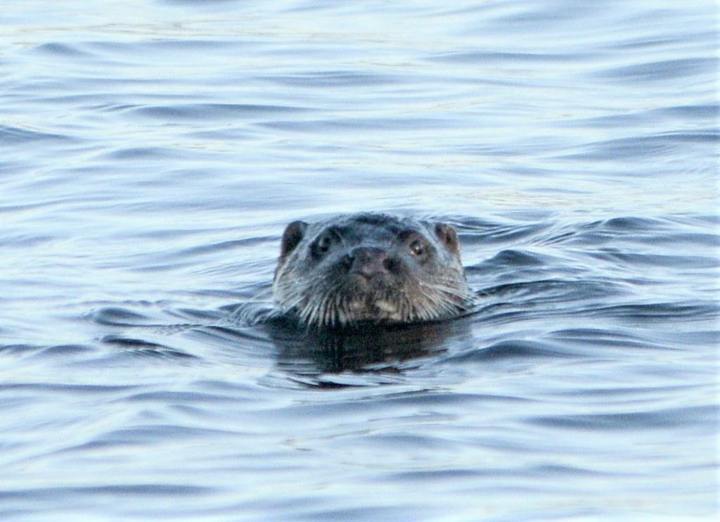 Loch of Harray otter.