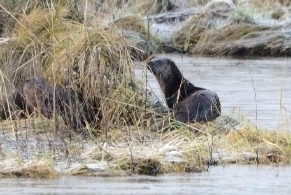 Otters on Harray shore.