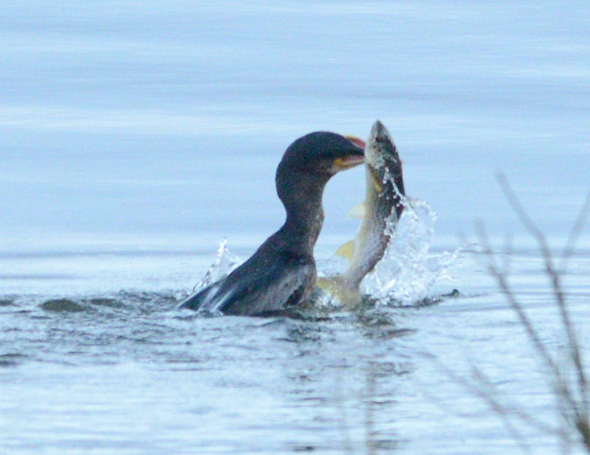 Fishing cormorant with a large trout.