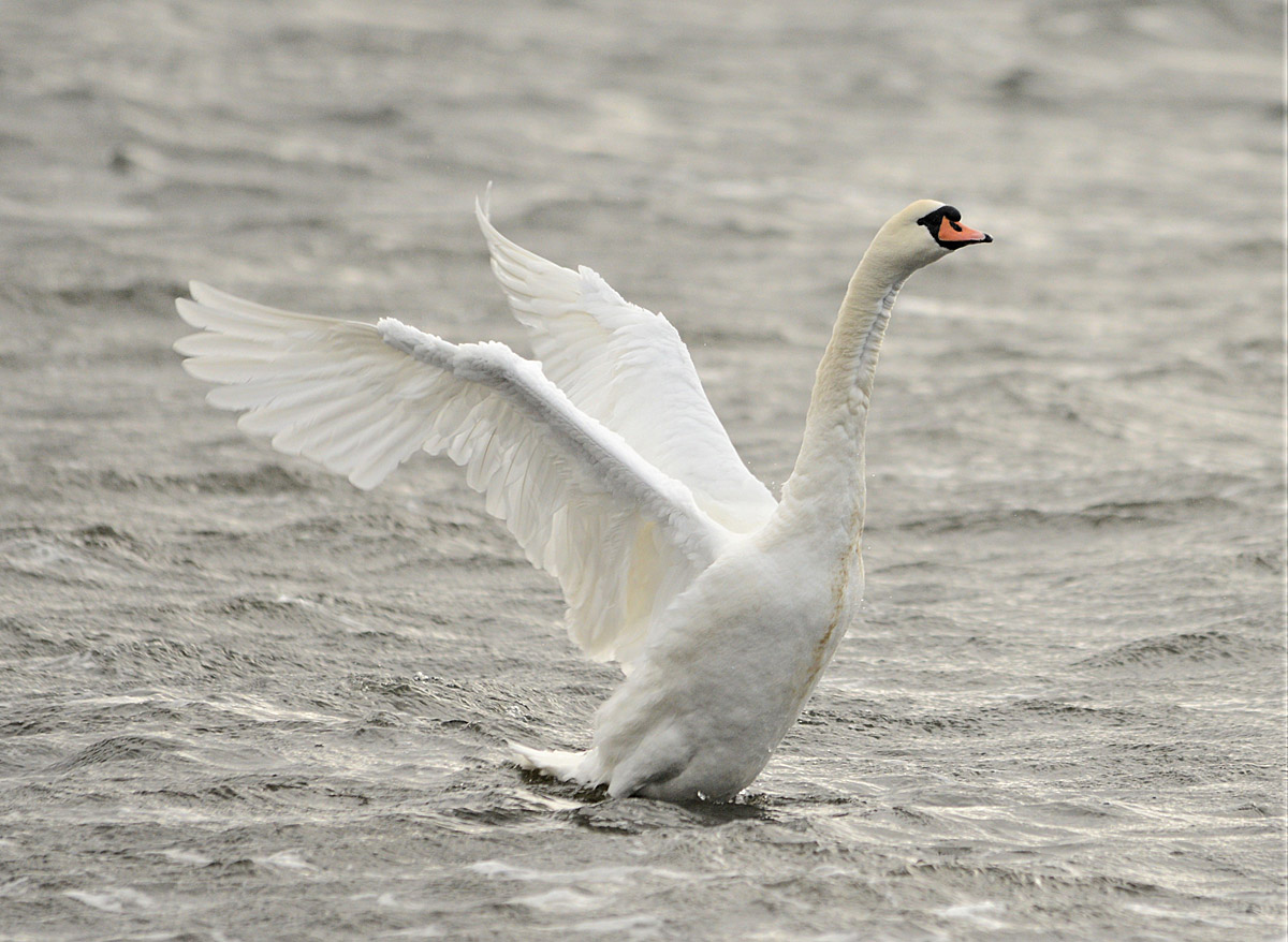A fine swan display.