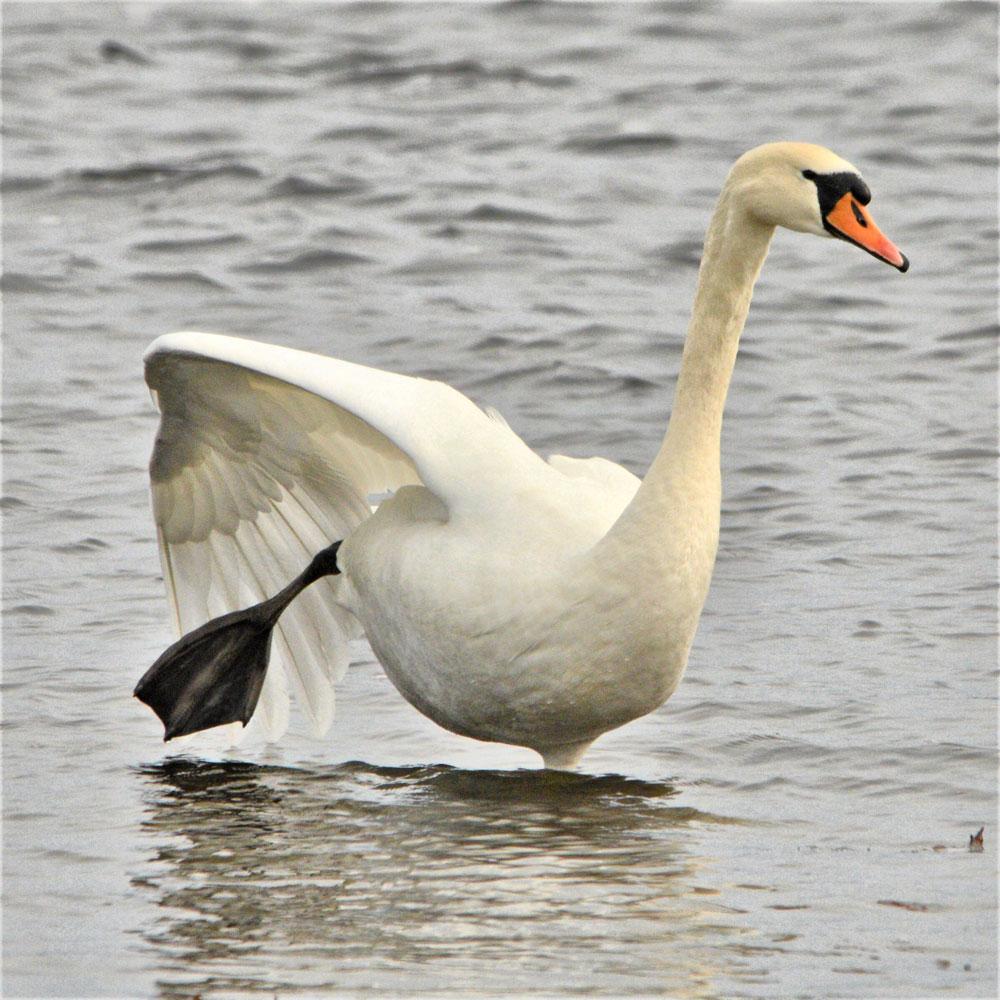 Swan practises its yoga.