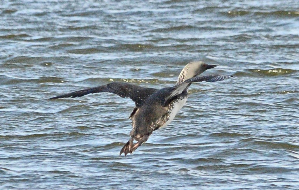 Red-throated diver takes flight.