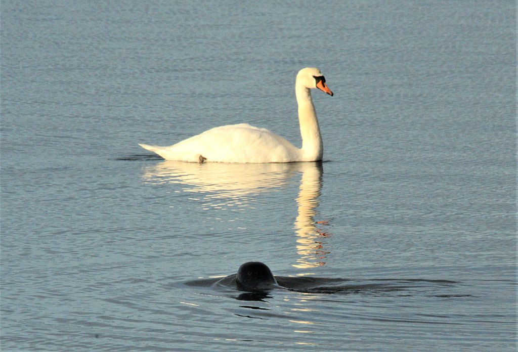 Swan being circled by a common seal.