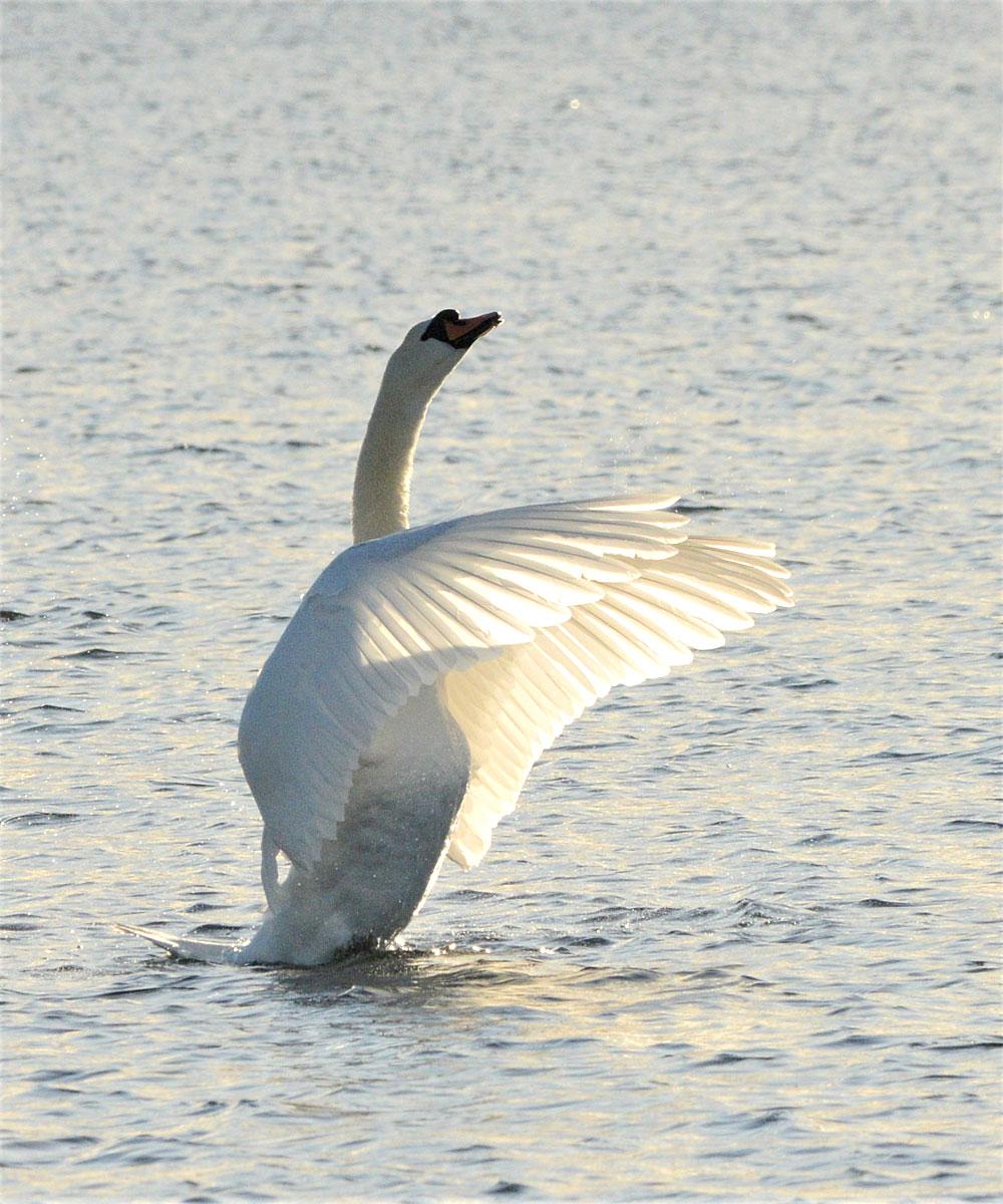 Posing swan.