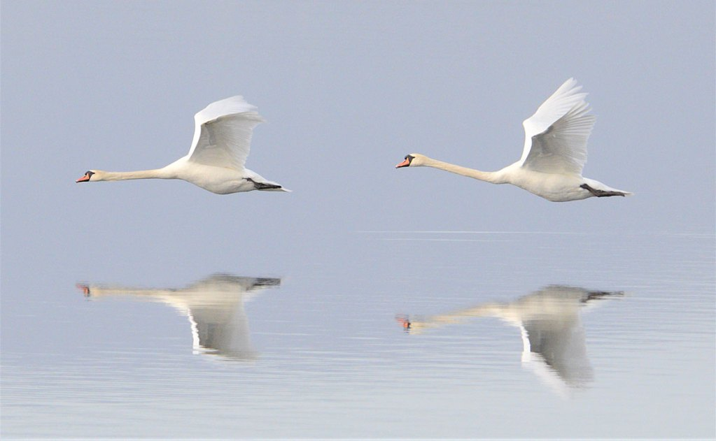 Low-flying swans.