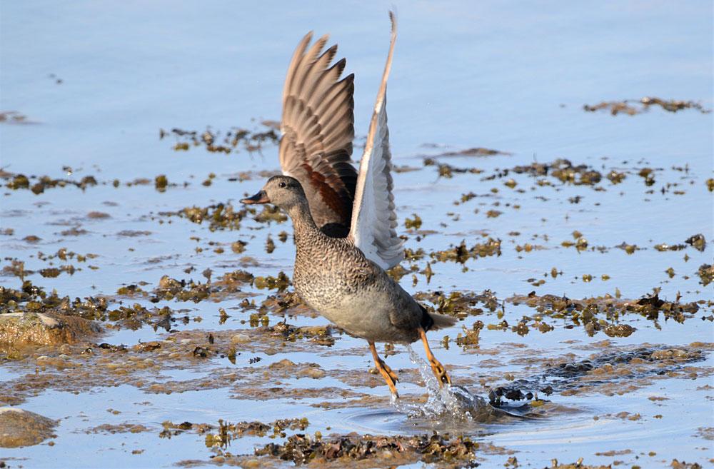 Female gadwall takes flight.