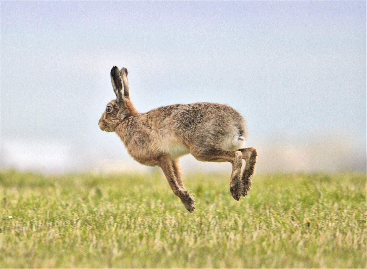 Hare bounds away.