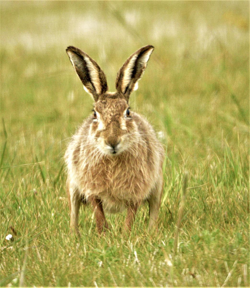 Hare head on.