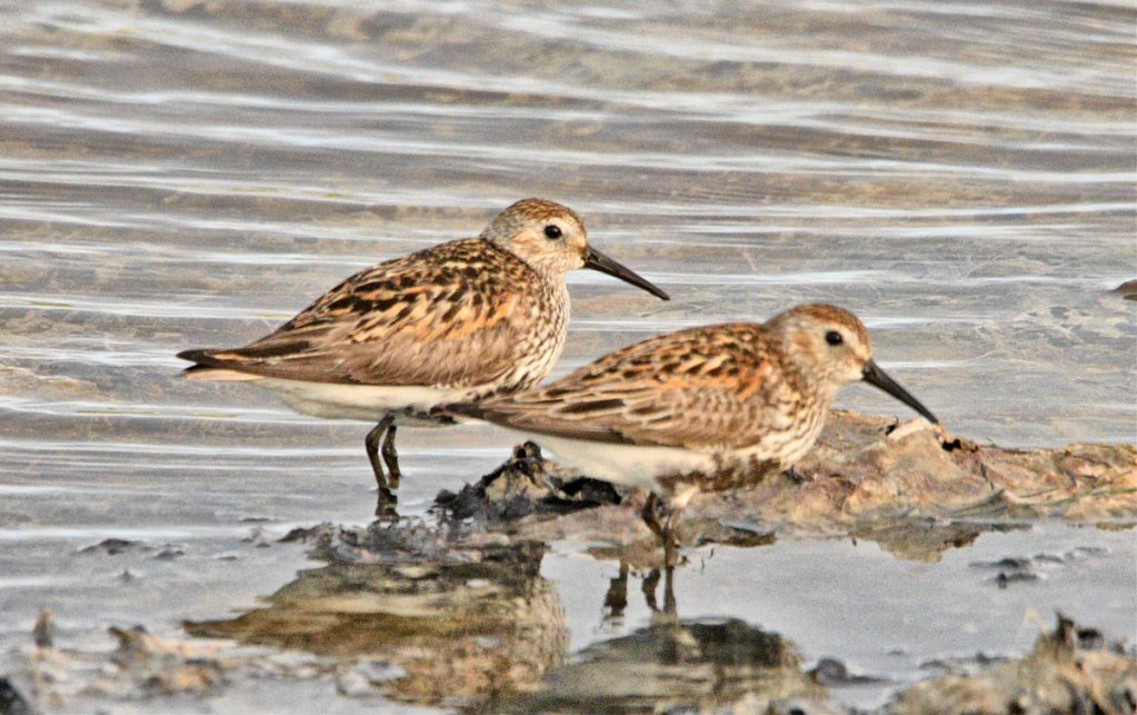 Couple of dunlins.