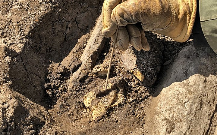 Clare excavating the animal bone beneath the quernstone fragment she found yesterday. The bone, like most found at the Ness, was poorly preserved. This makes identification difficult but it appears to be a cattle vertebra. (Sigurd Towrie)