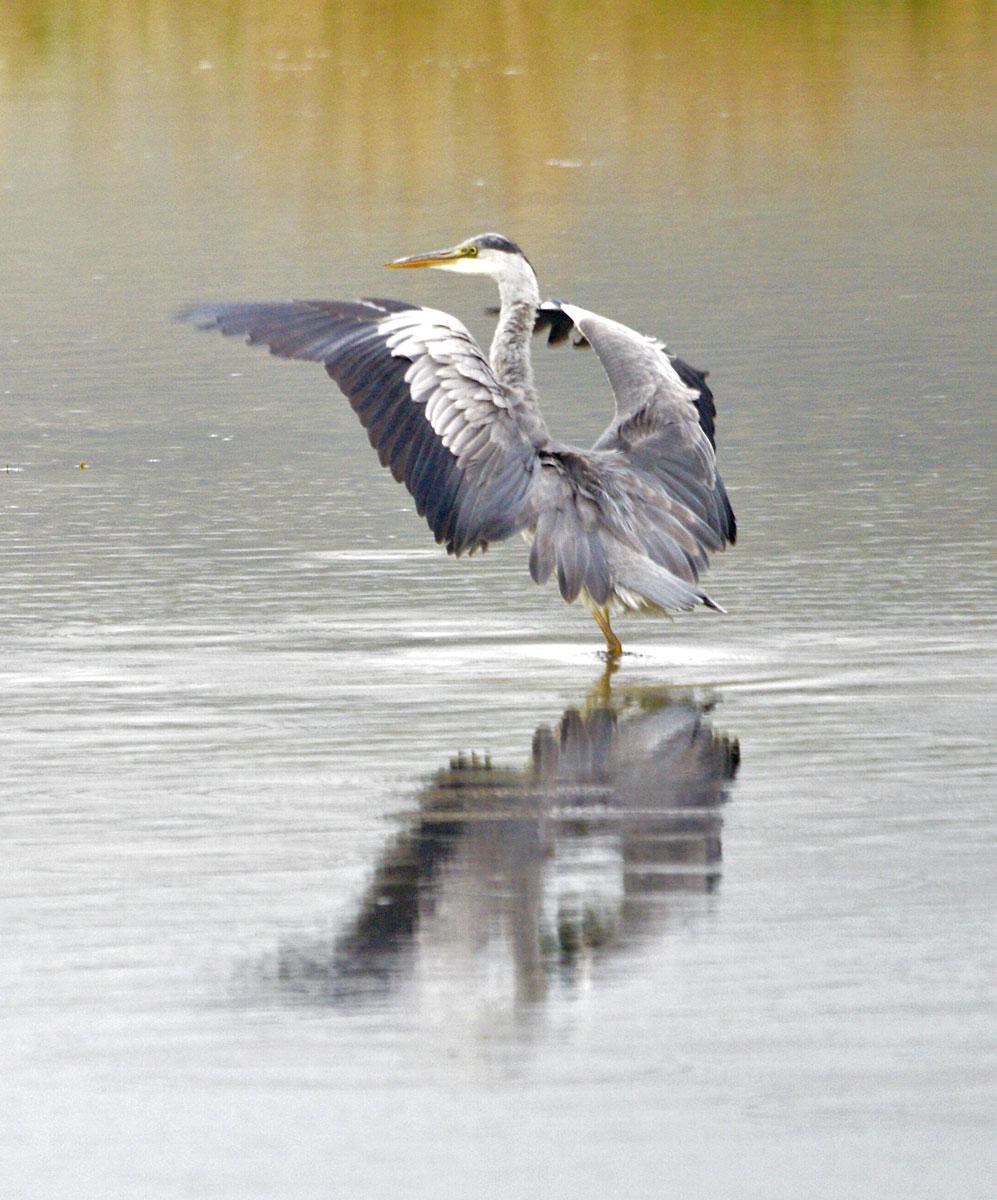 Heron landing on the Stenness loch.