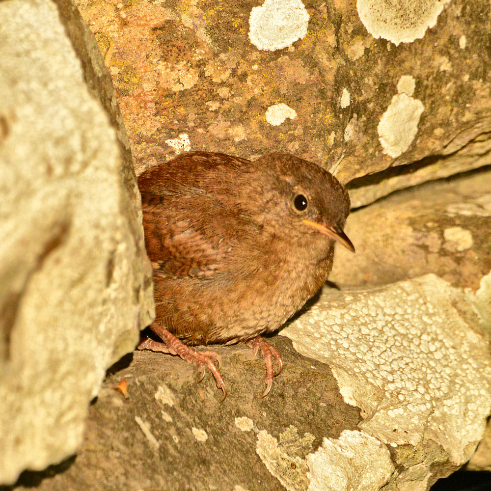 Wren pops out from its hole in the wall.