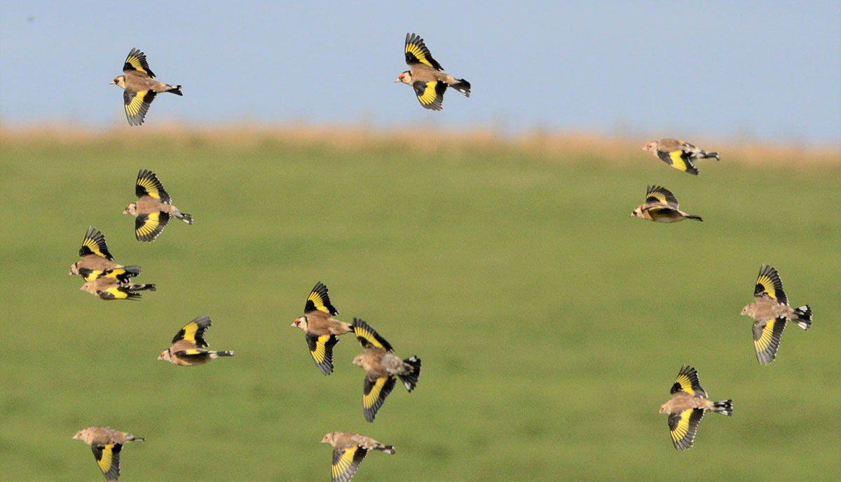 A charm of goldfinches.