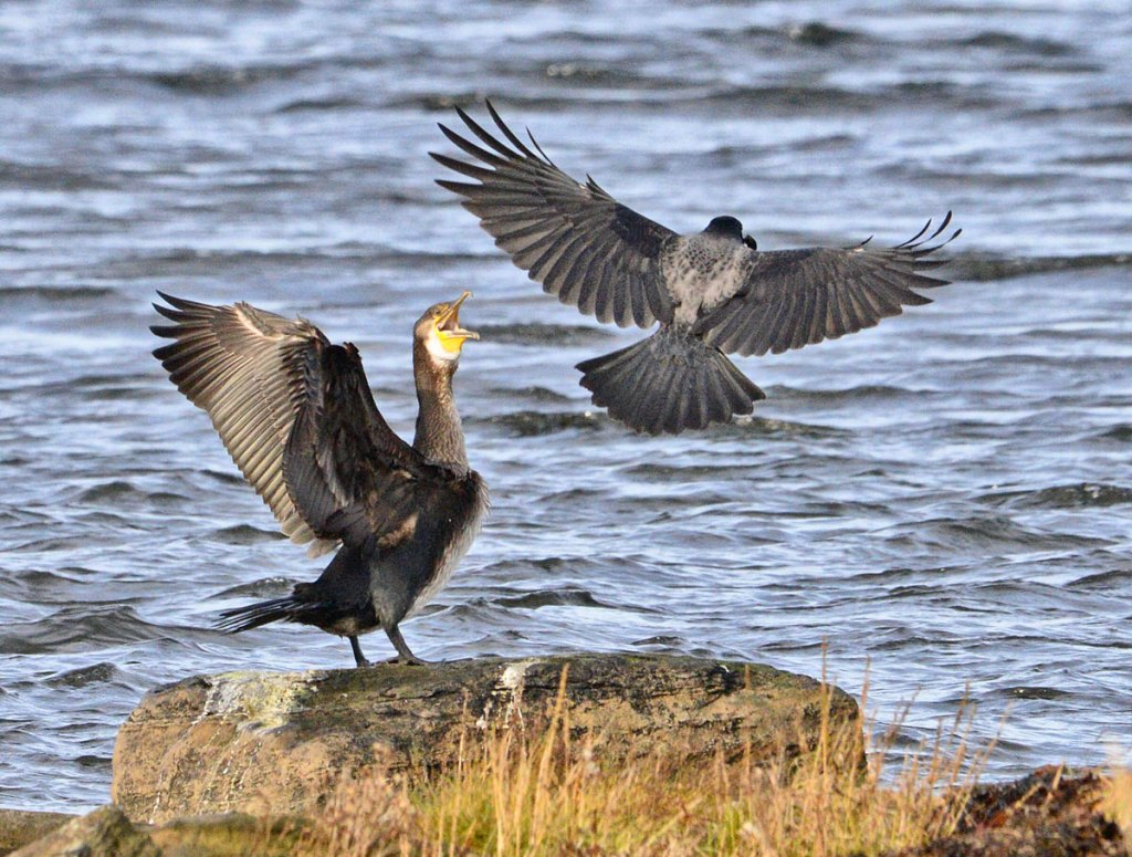 Cormorant sees off a hooded crow.