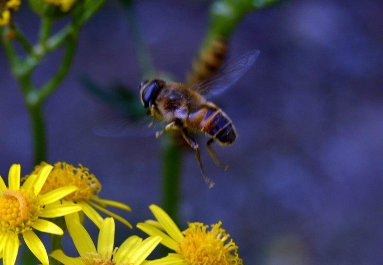 Wildlife around ragwort