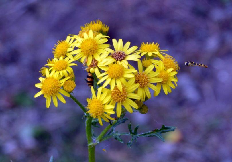 wild ragwort in england