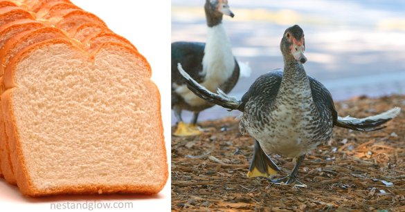 bread is killing birds