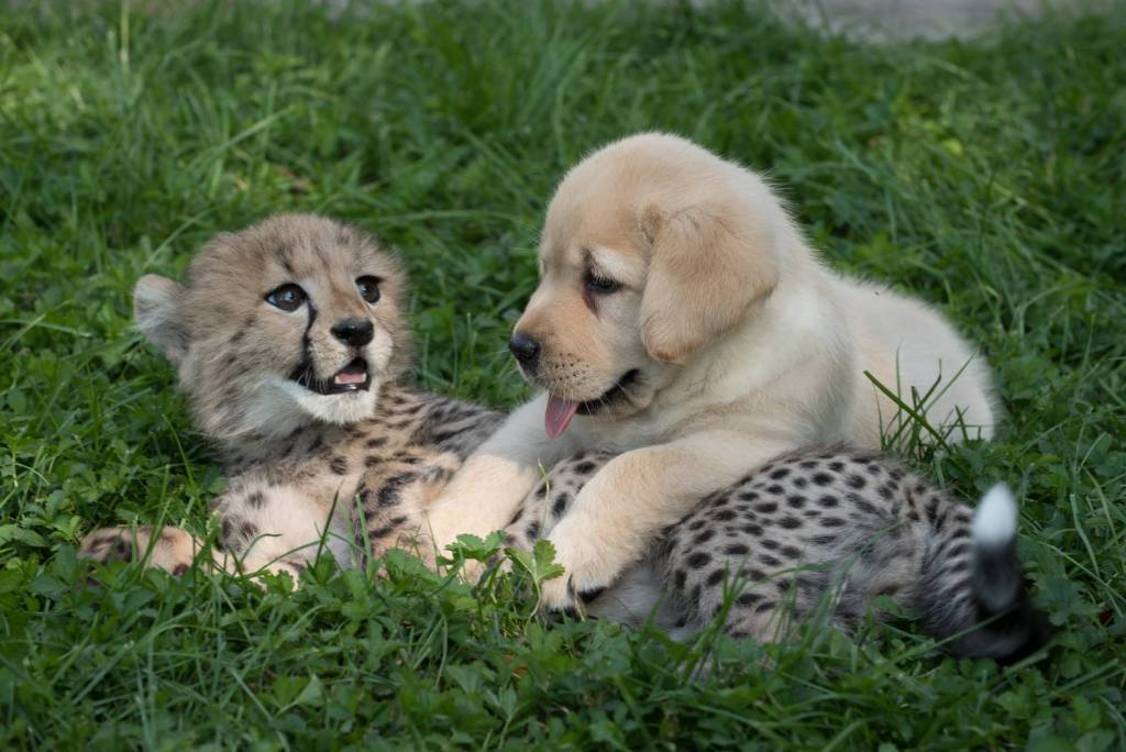 Emotional Support Dogs helping cheetah