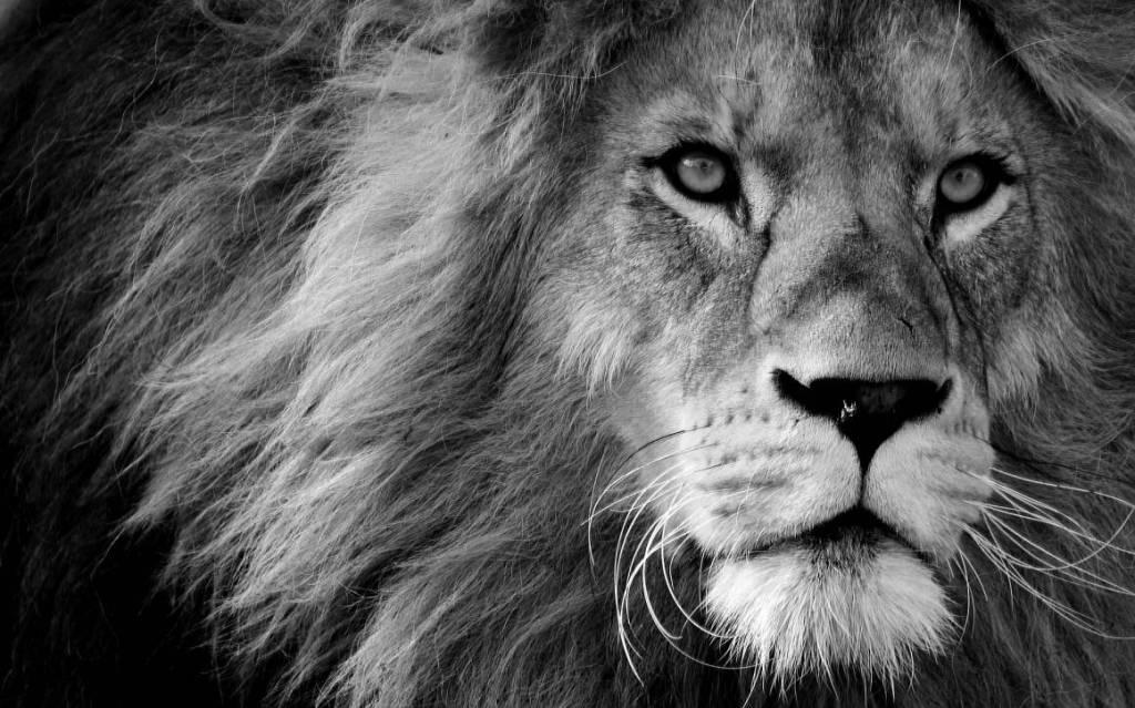 Jagad av lejon?