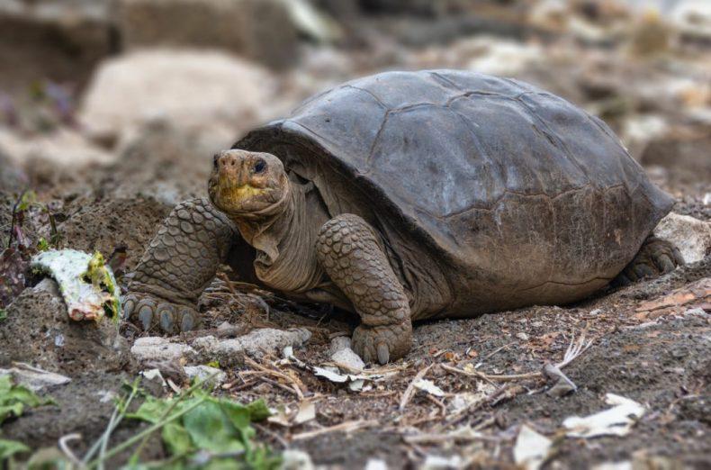 La tortuga centenaria prueba que la especie no está extinta
