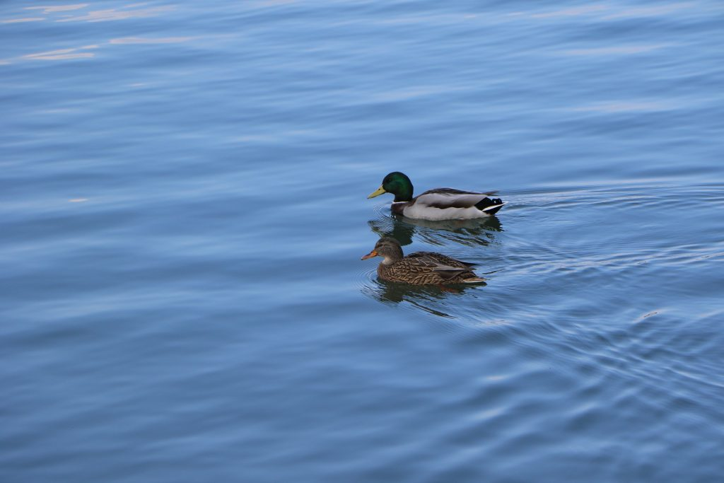 mallard-duck-1067204_1920