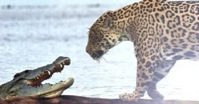 Crocodile Caught by Big Cat