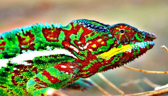 chameleons-Netmarkers