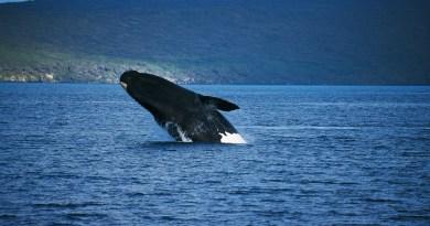 whale sea bulls-Netmarkers