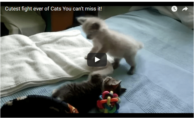 cutest fight of cats ever- Netmarkers