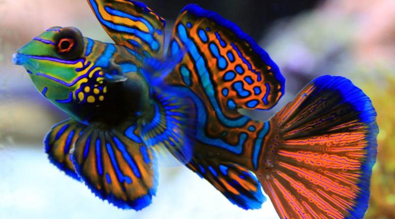 Mandarinfish-most beautiful fish-Netmarkers