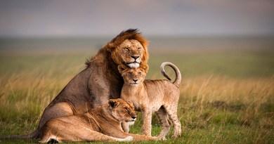 lion-video-Netmarkers