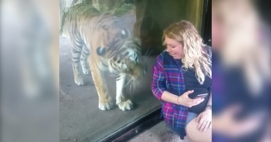 tiger pampering woman