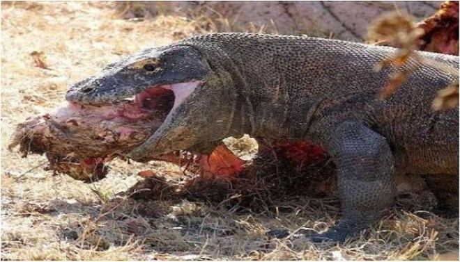 Komodo Dragon Lizard netmarkers