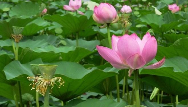 lotus plant netmarkers