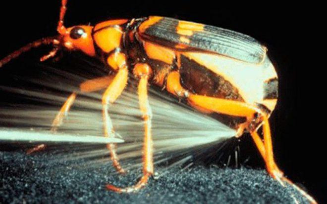 bombardier beetle-netmarkers