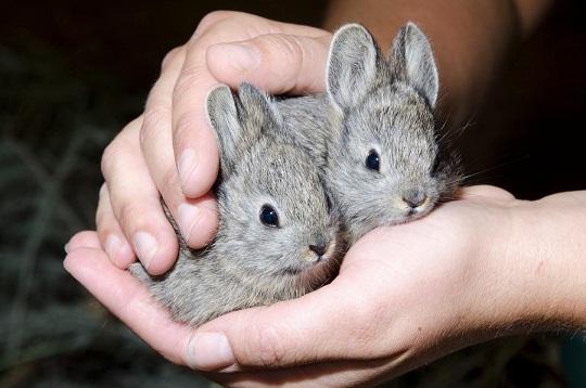 Pygmy Rabbit-netmarkers