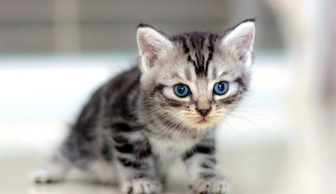 american-shorthair-cat-netmarkers