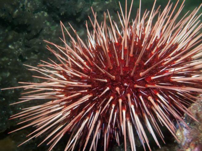 Red-Sea-Urchin-netmarkers