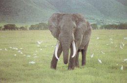 Elefantbestanden i Sydafrika, der er eksploderet fra 8.000 til 20.000 på 14 år, skal reduceres.