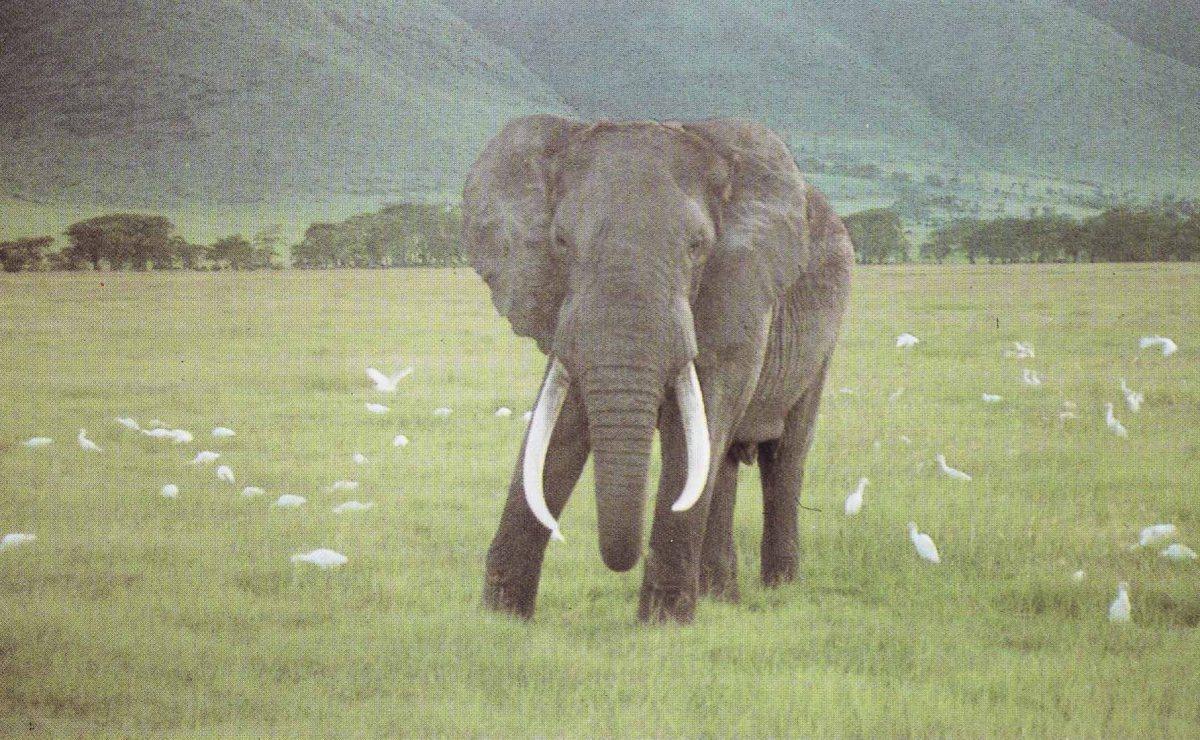 EU lukker ned for import af østafrikanske elefanttrofæer